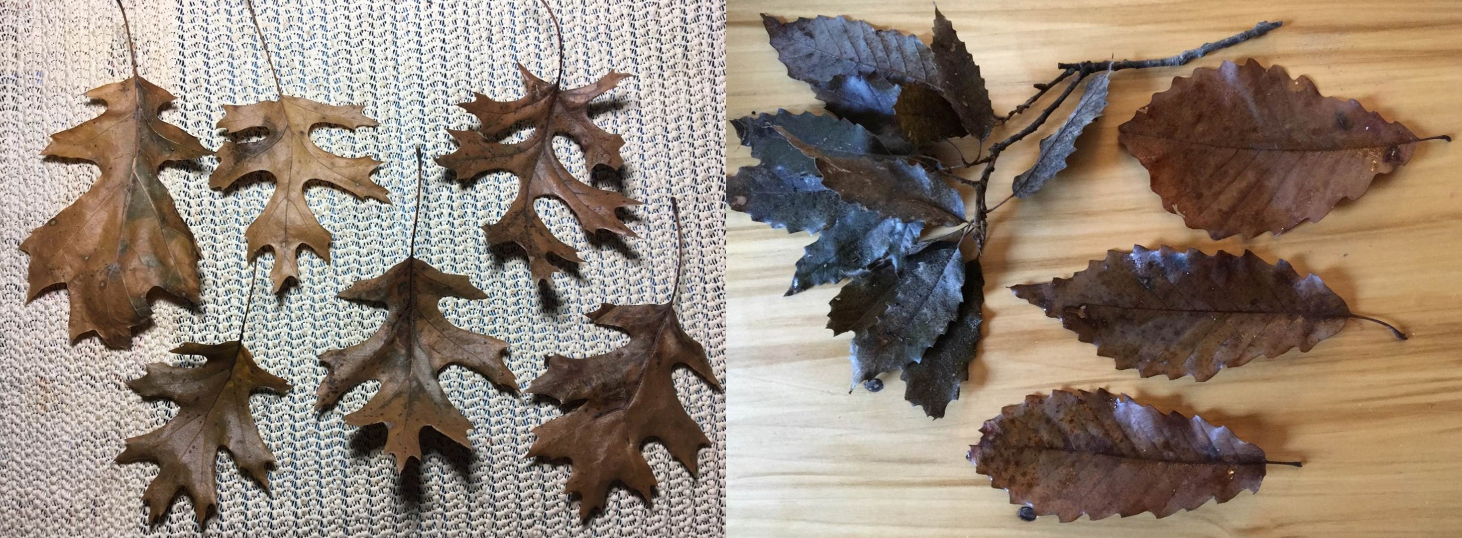 Leaves collected from John Paul Park