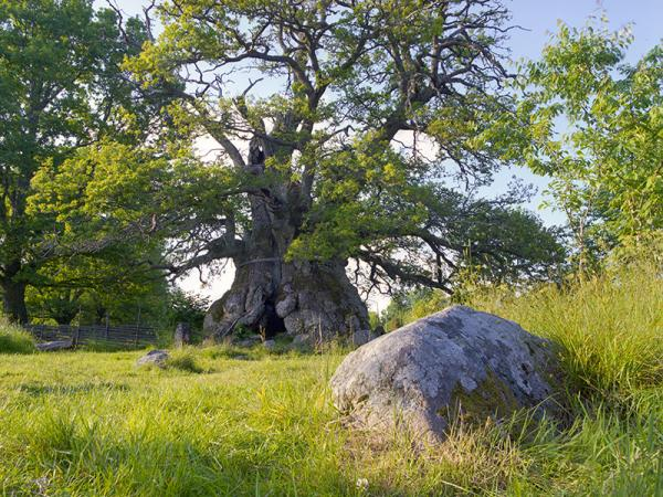 The Oak of Kvill. © Gustaf Emanuelson. All rights reserved.