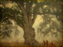 oak_in_fog23_new.jpg